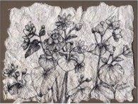 Drawing of Marsh Marigold